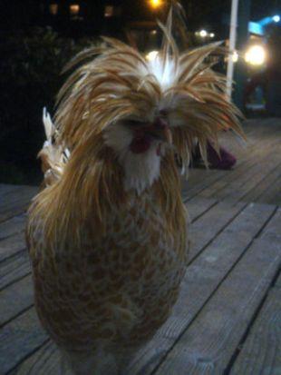 Chicken hair